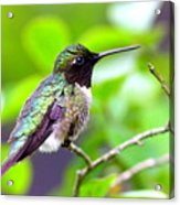 Img_3524-002 - Ruby-throated Hummingbird Acrylic Print