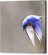 Img_4138-003 - Eastern Bluebird Acrylic Print