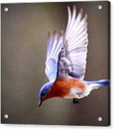 Img_4139-003 - Eastern Bluebird Acrylic Print