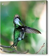 Img_4595-004 - Ruby-throated Hummingbird Acrylic Print