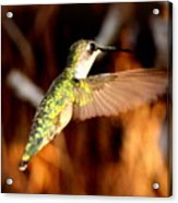 Img_4625 - Ruby-throated Hummingbird Acrylic Print