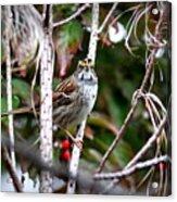 Img_6624-002 - White-throated Sparrow Acrylic Print