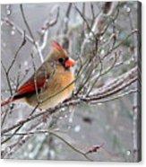 Img_6770 - Northern Cardinal Acrylic Print