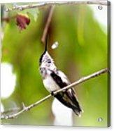 Img_7436-020 - Ruby-throated Hummingbird Acrylic Print