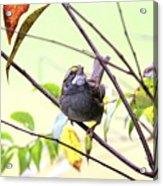Img_7541-002 - White-throated Sparrow Acrylic Print