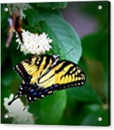 Img_8712-001 - Swallowtail Butterfly Acrylic Print