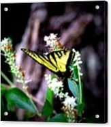 Img_8960 - Tiger Swallowtail Butterfly Acrylic Print