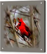 Img_9241 - Northern Cardinal Acrylic Print