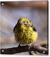 Img_9853 - Pine Warbler -  Very Wet Acrylic Print