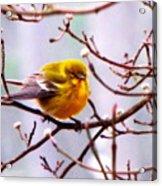 Img_9900 - Pine Warbler Acrylic Print