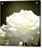 Immaculate Rose Acrylic Print