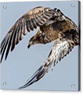 Immature Bald Eagle Leaving A Perch Acrylic Print