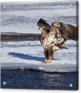 Immature Eagle On Ice Acrylic Print