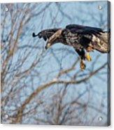 Immature Eagle Wheels Down Acrylic Print