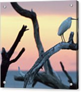 Immature Heron Glow Acrylic Print