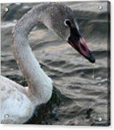 Immature Swan Acrylic Print