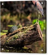 Immature Tri-colored Heron And Peninsula Cooter Turtle Acrylic Print