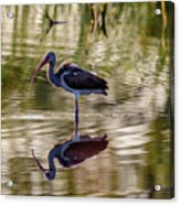 Immature White Ibis At Sunrise Acrylic Print