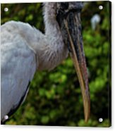 Immature Wood Stork Acrylic Print