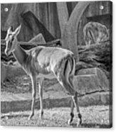 Impala    Black And White Acrylic Print