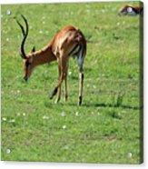 Impala Buck Acrylic Print