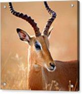 Impala Male Portrait Acrylic Print