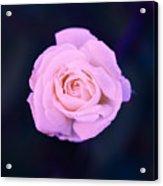 Imperfect Rose #1 Acrylic Print