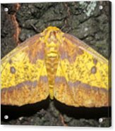 Imperial Moth Acrylic Print