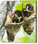 Impossibly Cute Owl Fledglings Acrylic Print