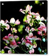 In Another Spring 2013 004 Acrylic Print