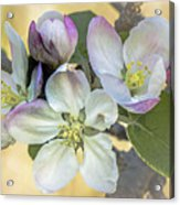 In Apple Blossom Time Acrylic Print