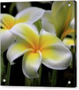 In Love With Butterflies Plumeria Flower Cecil B Day Butterfly Center Art Acrylic Print