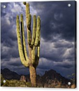 In Search Of That Perfect Saguaro  Acrylic Print