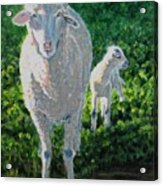 In Sheep's Clothing Acrylic Print