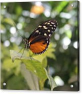 In The Butterfly Room At The Insectarium Acrylic Print