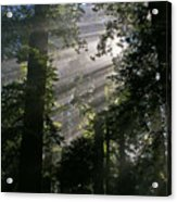In The California Redwood Forest Acrylic Print