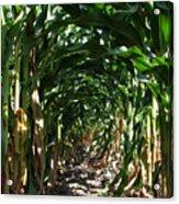 In The Corn  Acrylic Print