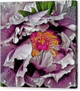 In The Eye Of The Peony Acrylic Print