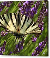 In The Lavender Acrylic Print