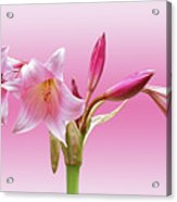 In The Pink  Acrylic Print