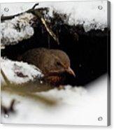 In The Shelder. Eurasian Blackbird Acrylic Print