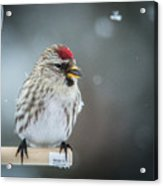 In The Snow Acrylic Print