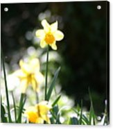 In The Springtime Sunshine Acrylic Print