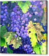 In The Vineyard Acrylic Print