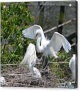 In The Wild White Snowy Egrets Photography ....photo A Acrylic Print