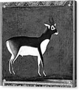 India: Black Buck Acrylic Print