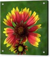 Indian Blanket Flower - Gaillardia Acrylic Print