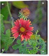 Indian Blanket Flower Acrylic Print