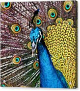 Indian Blue Peacock Acrylic Print