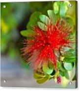 Indian Bottlebrush Flower Acrylic Print